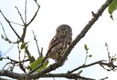 鵂鶹Collared owlet:IMG_2916.jpg