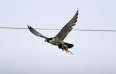 遊隼 Peregrine Falcon:IMG_6348.jpg