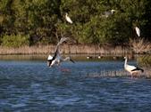 東方白鸛 Oriental White Stork:A23P7061.jpg