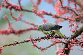 123:紅頭綠鳩 Whistling Green Pigeon