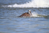 魚鷹 Osprey 捕魚:IMG_0887.JPG
