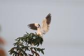 黑翅鳶 Black shouldered kite:IMG_2354.JPG