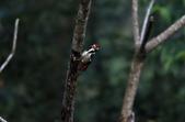 大翅啄木 White-backed Woodpecker:A23P8645.jpg