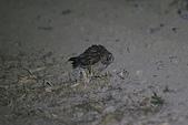短耳鴞 Short-eared Owl:A23P0016.jpg
