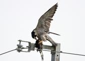 遊隼 Peregrine Falcon:IMG_8702.jpg