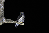 褐鷹鴞 Brown Hawk Owl :IMG_1082.JPG