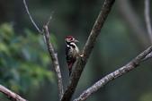 大翅啄木 White-backed Woodpecker:A23P8854.jpg