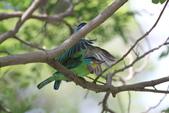 五色鳥交尾:IMG_5280.JPG