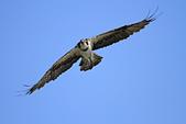 2012 魚鷹 Osprey:IMG_0648.JPG
