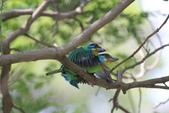 五色鳥交尾:IMG_5284.JPG