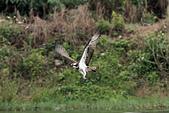 2012 魚鷹 Osprey:IMG_1268.jpg