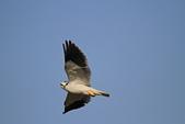 黑翅鳶 Black shouldered kite:IMG_3911.jpg