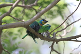 五色鳥交尾:IMG_5290.JPG