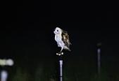 草鴞Grass Owl:A23P9526.jpg