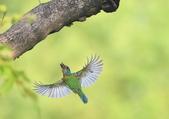 五色鳥:A23P7831.jpg