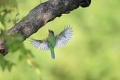 五色鳥:A23P8590.jpg