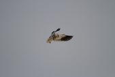 黑翅鳶 Black shouldered kite:IMG_0202.JPG