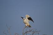 黑翅鳶 Black shouldered kite:IMG_3907.jpg