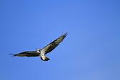 2012 魚鷹 Osprey:IMG_0568.JPG