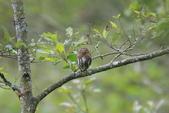 鵂鶹Collared owlet:A23P9041.jpg