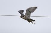 遊隼 Peregrine Falcon:IMG_6349.jpg