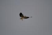 黑翅鳶 Black shouldered kite:IMG_0204.JPG