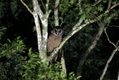 褐林鴞 Brown Wood Owl:A23P7574.JPG
