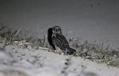 短耳鴞 Short-eared Owl:A23P0288.jpg