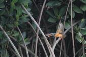 翠鳥 Common Kingfisher:IMG_4979.JPG