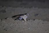 短耳鴞 Short-eared Owl:A23P0374.jpg