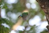 五色鳥:IMG_1388.JPG