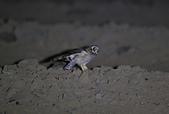短耳鴞 Short-eared Owl:A23P0375.jpg