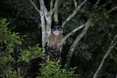 褐林鴞 Brown Wood Owl:A23P7919.JPG