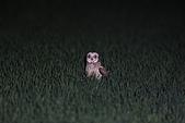 短耳鴞 Short-eared Owl:A23P1362.jpg