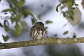 鵂鶹Collared owlet:A23P8892.jpg