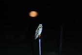 短耳鴞 Short-eared Owl:A23P0002.jpg