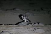 短耳鴞 Short-eared Owl:A23P0336.jpg