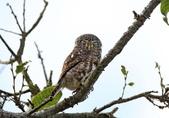 鵂鶹Collared owlet:IMG_2917.jpg