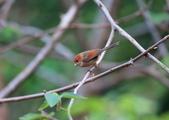 枌紅鸚嘴 Vinous-throated Parrotbill:A23P5674.jpg