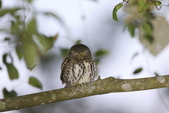 鵂鶹Collared owlet:A23P8958.jpg
