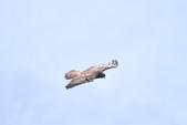 林鵰 Indian Black Eagle:IMG_0342.JPG