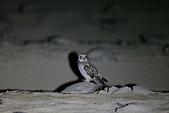 短耳鴞 Short-eared Owl:A23P0376.jpg