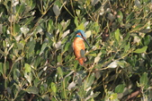 翠鳥 Common Kingfisher:IMG_5788.JPG