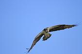 2012 魚鷹 Osprey:IMG_0646.JPG