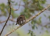 鵂鶹Collared owlet:A23P9303.jpg