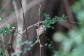 枌紅鸚嘴 Vinous-throated Parrotbill:A23P6199.jpg