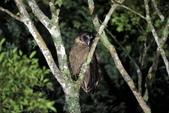 褐林鴞 Brown Wood Owl:A23P7499.JPG
