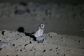 短耳鴞 Short-eared Owl:A23P0619.jpg