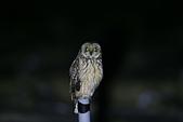 短耳鴞 Short-eared Owl:A23P7525.jpg