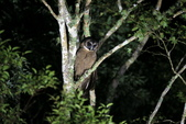褐林鴞 Brown Wood Owl:A23P7645.JPG